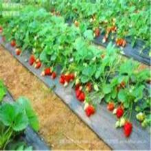 供应草莓苗图片