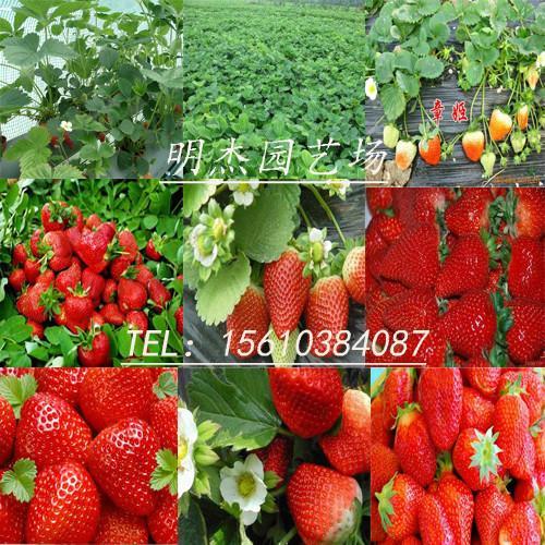 供应宁玉草莓苗