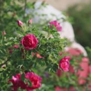 玫瑰精油图片