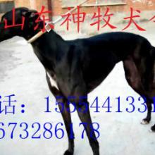 供应格力犬养殖,格力犬训练,格力犬价格批发