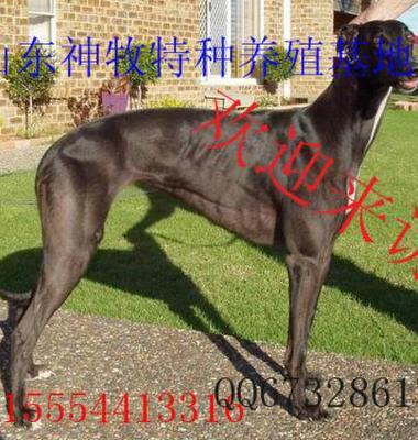 山东格力犬图片/山东格力犬样板图 (1)