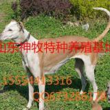 供应格力犬幼崽,格力犬价格,格力犬养殖