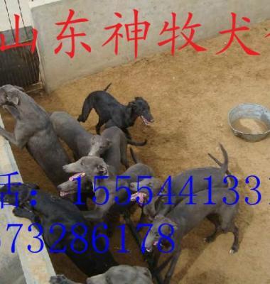 格力犬养殖图片/格力犬养殖样板图 (3)