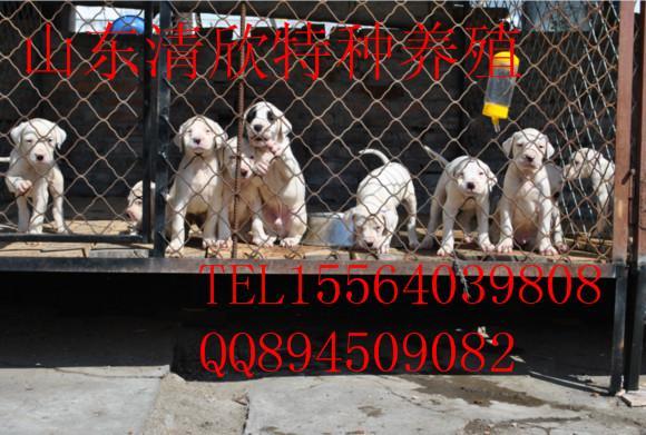 供应最好的杜高犬价格出售图片