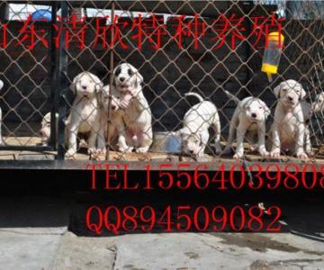 供应杜高犬繁殖训练基地杜高犬价格猎斗犬图片
