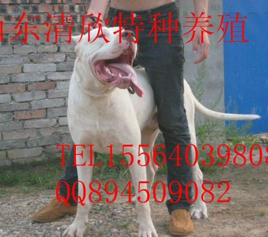 供应杜高犬图片