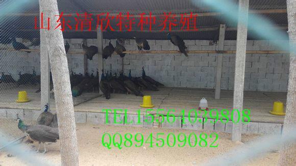 供应上海孔雀图片