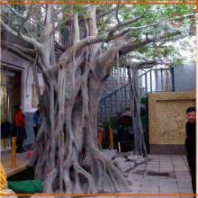 供应甘肃兰州、白银、张掖古榕树,供应青海西宁、德令哈、互助县古树。