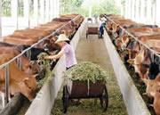 西门塔尔牛防疫保健图片