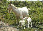 白山羊供种基地山东肉牛养殖场图片