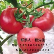 北京优质番茄种子西红柿种子图片