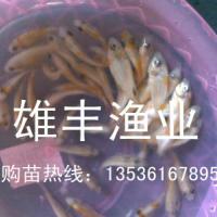 供应红罗非鱼苗价格批发-广东红色罗非鱼苗优质养殖