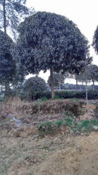供应四川6-12公分桂花树、四川10公分桂花树基地、10公分桂花