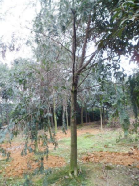 供应四川成都红豆杉树苗、四川南方红豆杉树苗、苗高50厘米以上