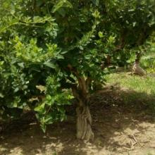 供应金银花树