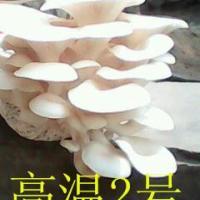供应食用菌平菇高温2号原种栽培种 瓶子菌种 颗粒母种 试管菌种