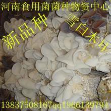 供应食用菌木耳菌种——雪白木耳母种食用菌菌种雪白木耳母种