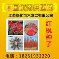 供应美国红枫种子图片