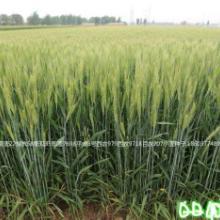 矮杆大穗小麦种子衡观35