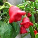 供应观赏辣椒种子五彩椒种子