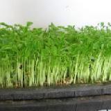 供应松柳种子芽苗菜种子