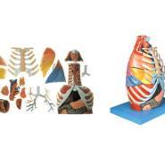 胸腔解剖模型图片