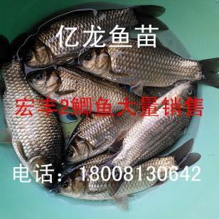 鲫鱼成鱼销售宏丰2图片