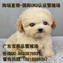 广州哪里有纯种泰迪熊繁殖场   广州哪里有纯种泰迪熊买
