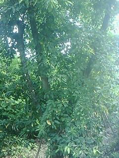 供应黄葛树绿化基地  黄葛树基地