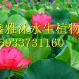 安新县盆栽荷花种植厂家/睡莲种植/生态浮岛制作/金鱼藻种植/狐尾藻种植/芦苇种植/水生鸢尾种植