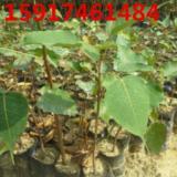 供应菩提榕小苗供应商,菩提榕树苗批发价,菩提榕苗价格,菩提榕袋苗报价