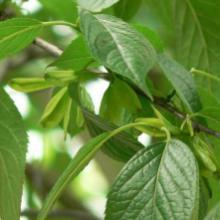 供应用于原料的杜仲皮提取物杜仲叶提取物