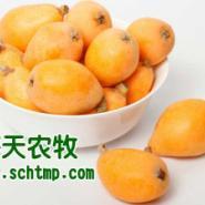 长宁县枇杷苗图片