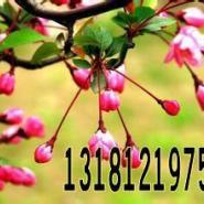 北美海棠四季彩叶北美海棠苗图片