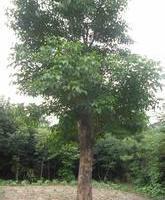 供应大量重阳木小苗|供应重阳木10-18cm|常年供应重阳木批发