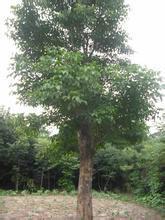 供應大量重陽木小苗|供應重陽木10-18cm|常年供應重陽木批發圖片