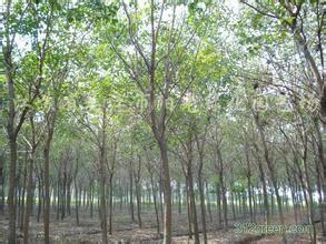 供应江苏重阳木小苗价格,重阳木种植技术,基地直销重阳木