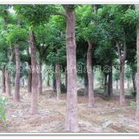 供应重阳木树苗-河南重阳木树苗种植地-重阳木树苗批发