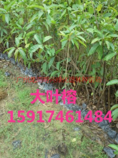 供应广东大叶榕树苗,大叶榕袋出售价,大叶榕苗木便宜价,大叶榕苗供应商