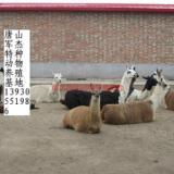 供应唐山出售羊驼,土豪宠物羊驼