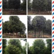 湖北5公分香樟25元苗木批发图片