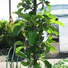供应2公分柱状苹果苗价格 润太一号柱状苹果批发