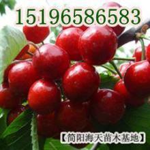 供应用于种植的大果大樱桃苗