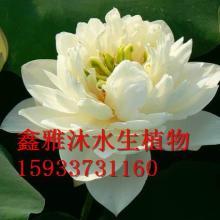 供应沈阳种植荷花厂家,专业种植精品荷花,睡莲,千屈菜,水葱,芦竹等
