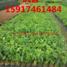 供应用于绿化种苗|造林苗|名贵树种的广州沉香50-60公分起批发
