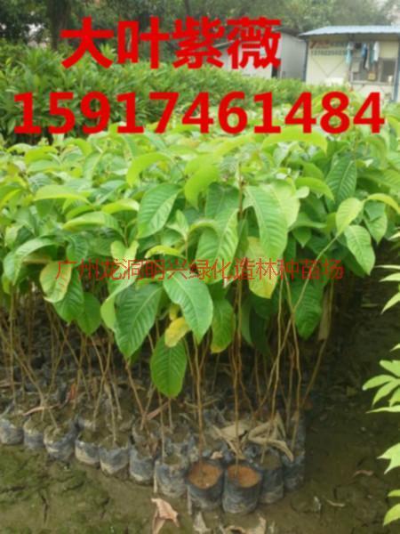 供应大叶紫薇苗木市场价钱,大叶紫薇小苗gys价格,大叶紫薇苗木报价