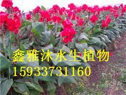 供应美人蕉种植技术,厂家种植睡莲,荷花,芦竹,再力花,王莲,水葱,水生鸢尾等