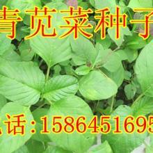 供应青苋菜种子野菜种子野菜种子白苋菜批发图片