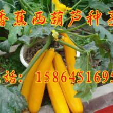 供应香蕉西葫芦种子 金皮西葫芦 特色瓜果