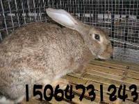 供应肉兔种兔河北省石家庄肉兔养殖厂哪里最便宜批发